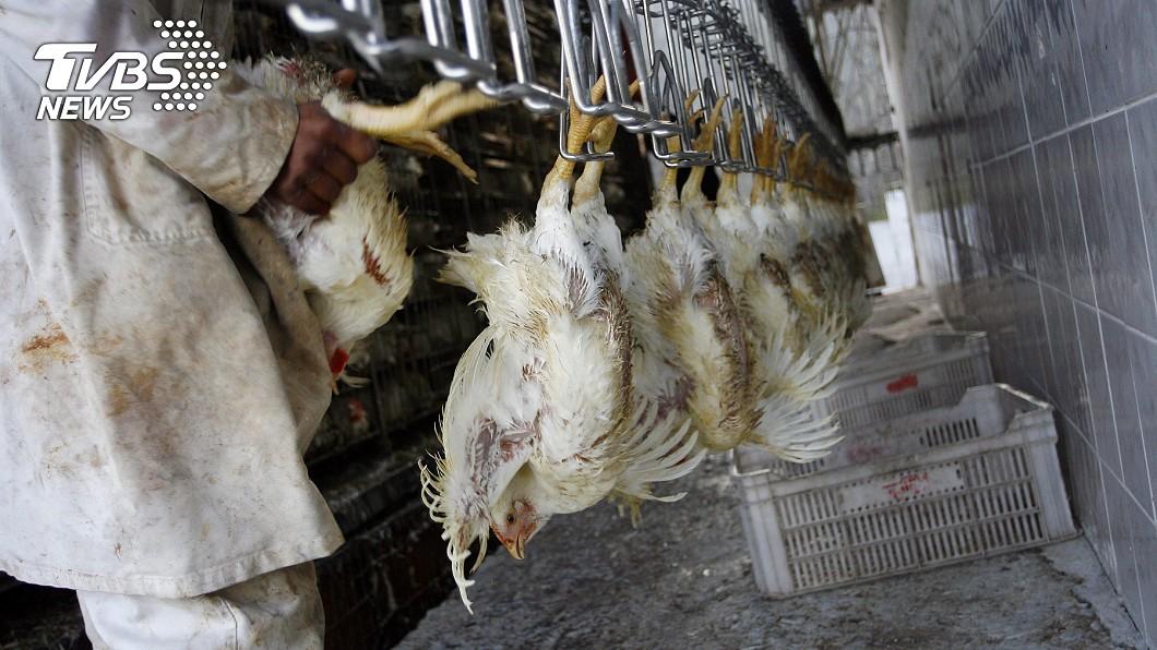 屠宰場。(示意圖,與事件無關。圖/TVBS) 北部官辦屠宰場爆藏2百無證移工 不戴口罩恐成防疫漏洞