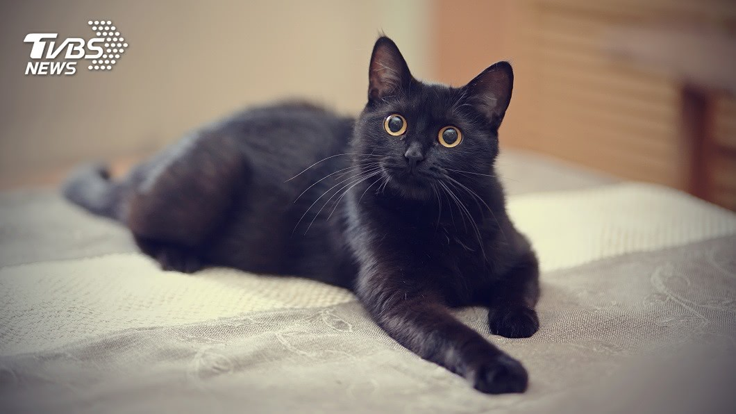 許多民眾家中會飼養貓咪。(示意圖/TVBS) 貓的報恩!凌晨被咬臉痛醒 孕婦發現羊水破了:沒白疼你