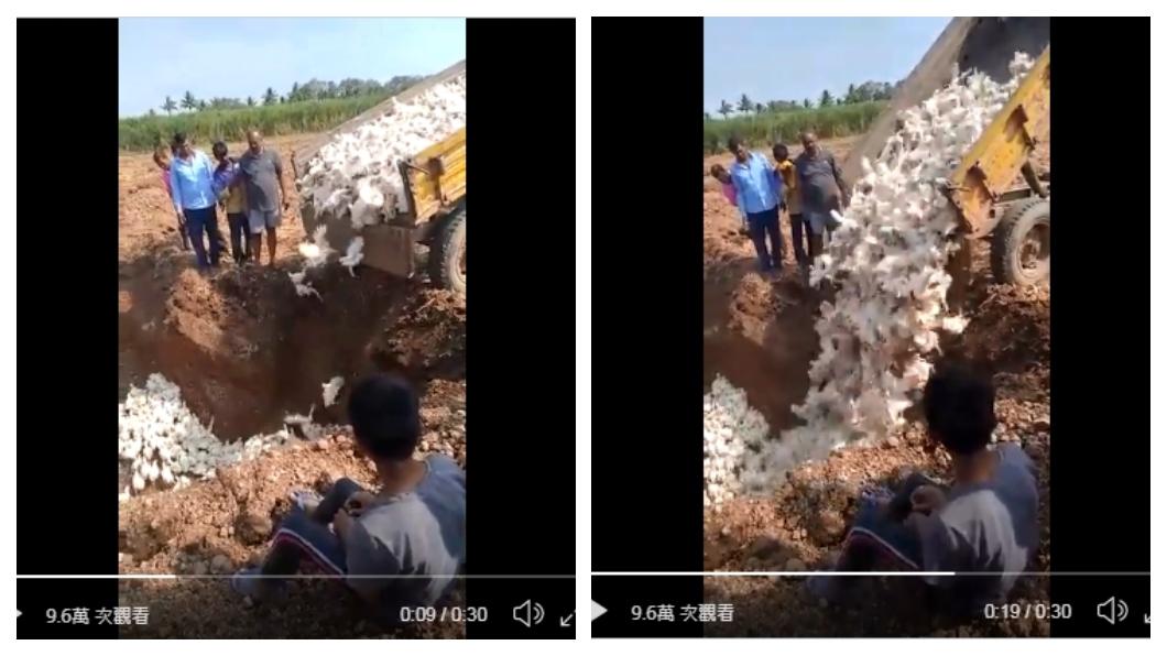 男子將自己養的雞全部活埋 (圖/翻攝自Niranjan Kaggere推特) 謠言傳家禽染疫!農夫把「6000隻雞當病毒」全活埋