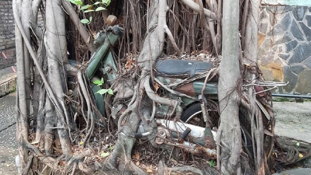 1名男子把破舊機車放在自家庭院大樹旁,現在車身都被樹根纏繞住了。(圖/翻攝自臉書) 機車被樹根纏繞買主出高價 車主堅不賣:這是我的回憶