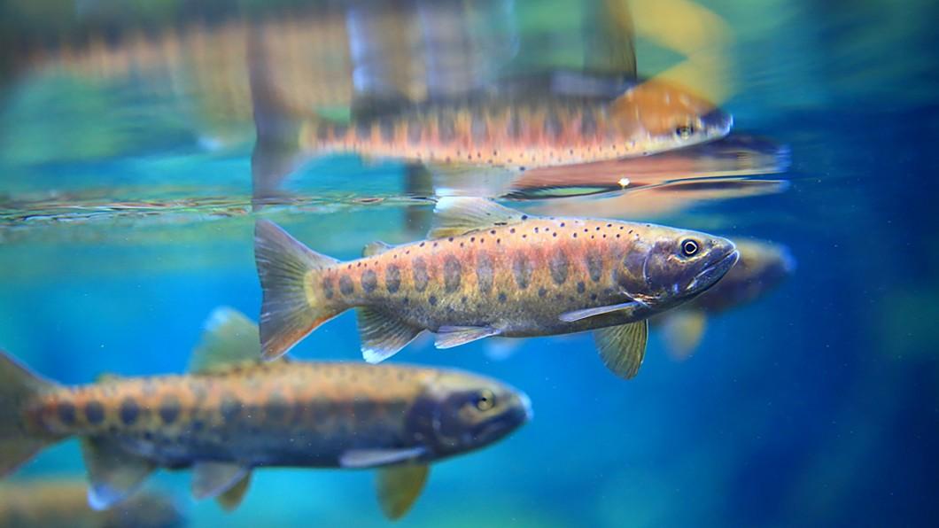 圖/雪霸國家公園管理處提供 創歷史新高! 國寶魚櫻花鉤吻鮭野外數量破萬尾