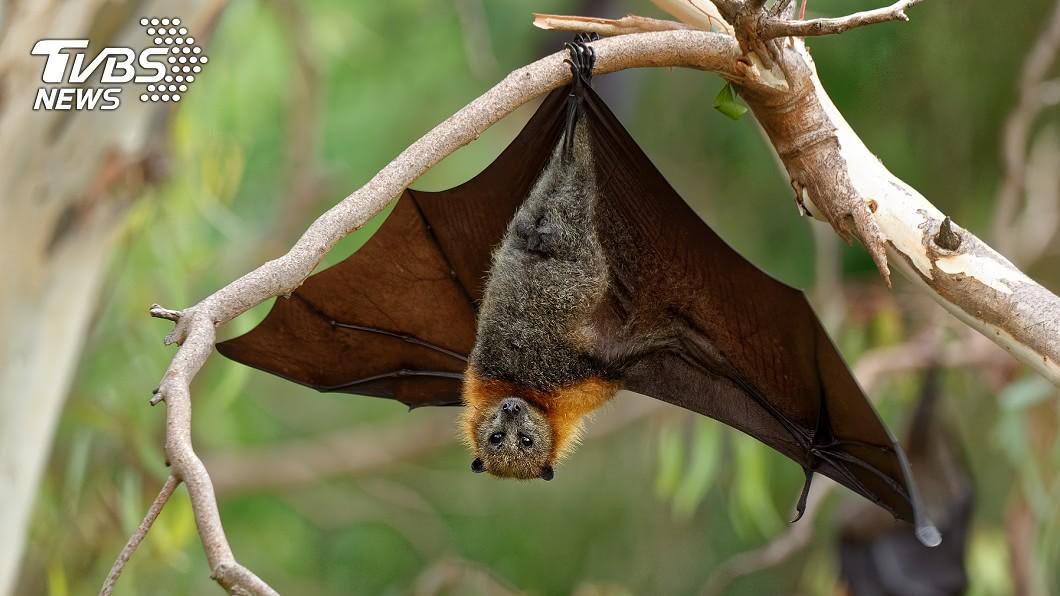 先前有科學家認為,新冠病毒的流行恐和蝙蝠有關。(示意圖/TVBS) 成群蝙蝠突暴斃 居民驚見屍群嚇傻:世界末日到了?