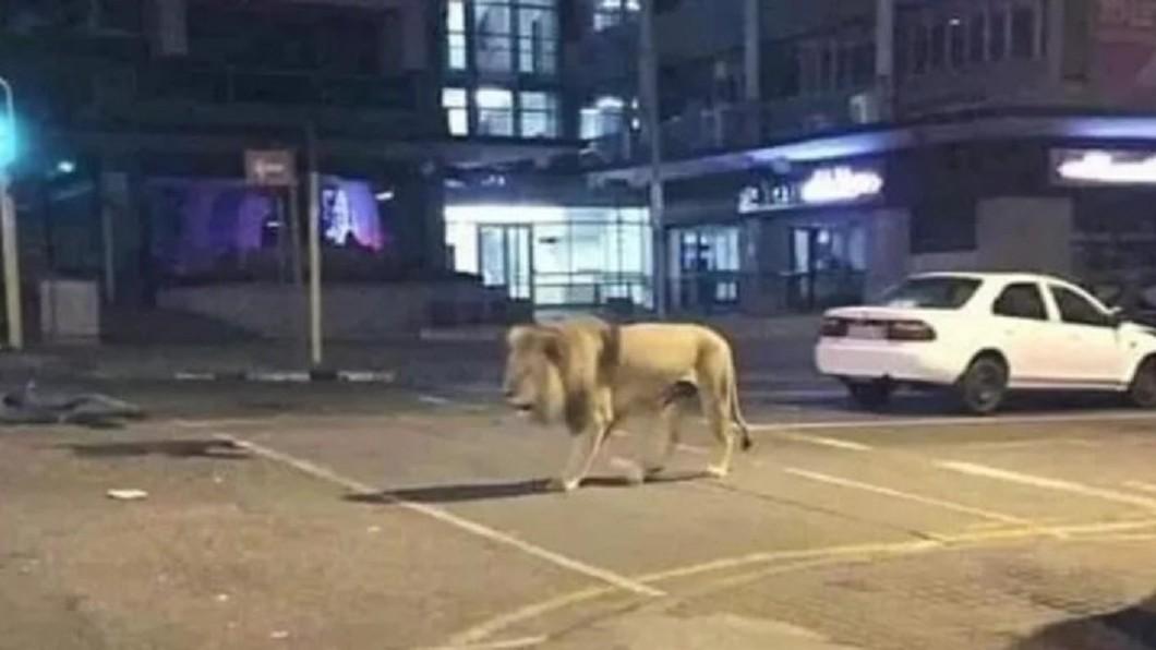 圖/翻攝自推特 普欽放8百隻獅子阻民眾上街?俄國外交部:放熊更有效