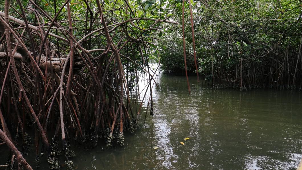 圖/達志影像路透 紅樹林用「種」的!斯里蘭卡獨步 領先全球