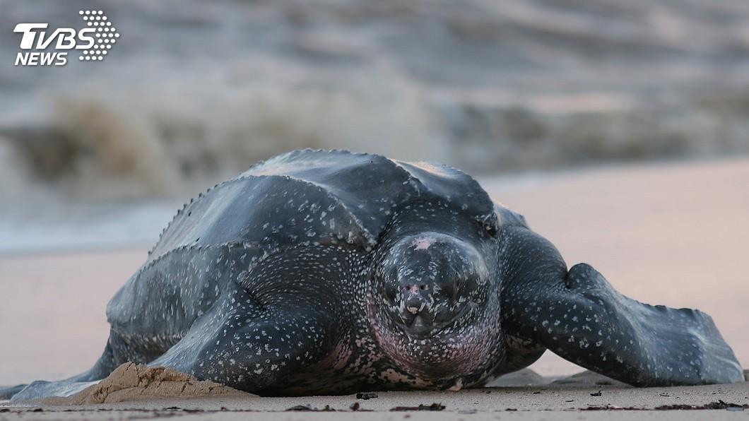 示意圖/TVBS 沙灘淨空最樂是牠們 泰國海龜築巢數創20年之最