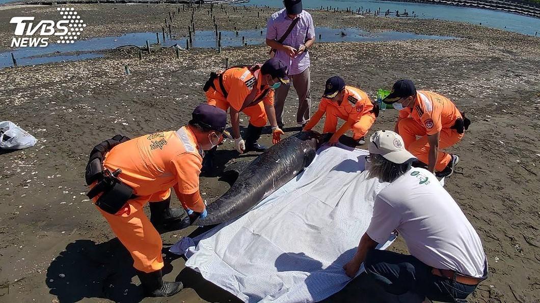 圖/海巡署提供 嘉義布袋沙灘又見小虎鯨死亡 初判集體擱淺