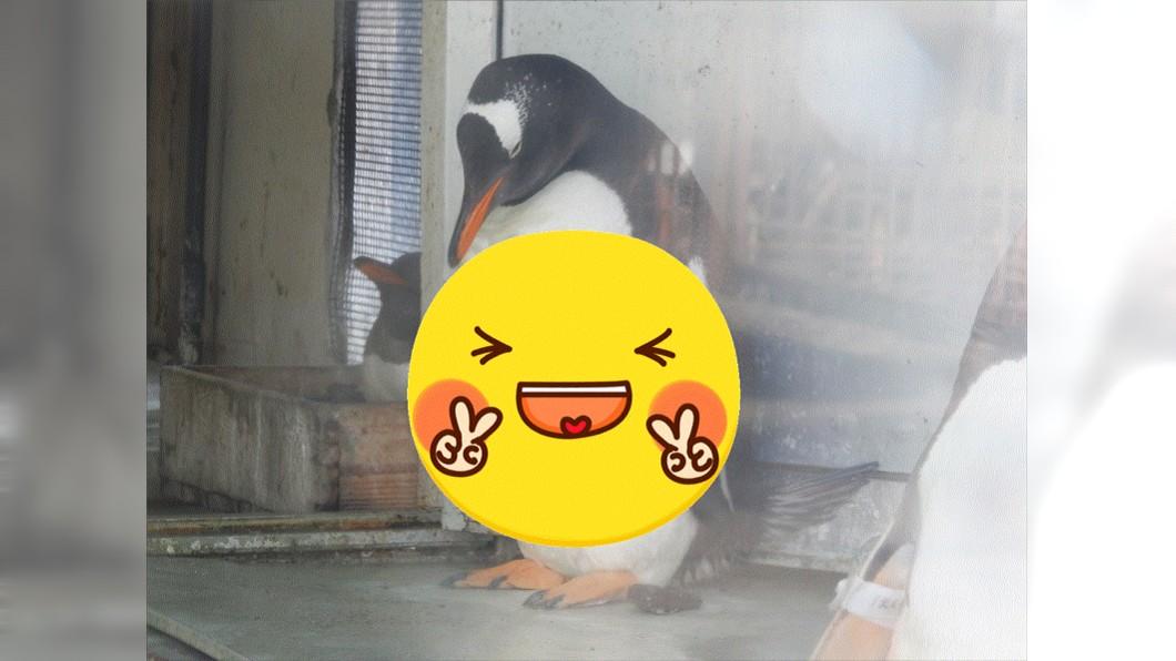 (圖/翻攝自小樽水族館推特) 超猛企鵝「練出20塊驚人腹肌」 網笑:休館期間偷健身