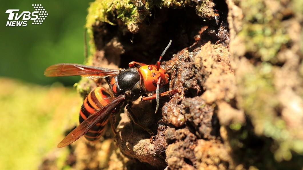 示意圖/TVBS 亞洲「殺人蜂」現蹤美西 恐危及人類安全及養蜂業