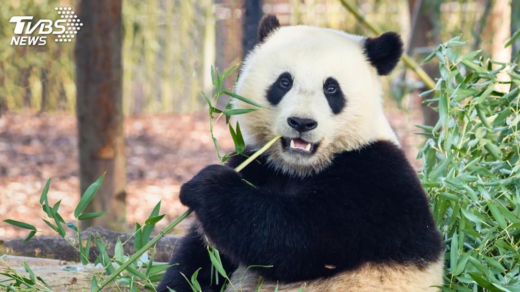 示意圖/TVBS 疫情影響竹子供應鏈 加拿大忍痛送貓熊回中國