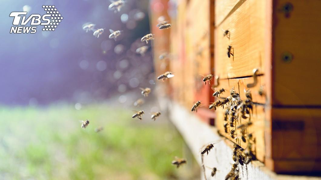 男子家中有10萬隻蜜蜂在天花板築巢。 (示意圖/TVBS) 家中聽到「嗡嗡」響!男一掀開天花板 驚藏10萬隻蜜蜂
