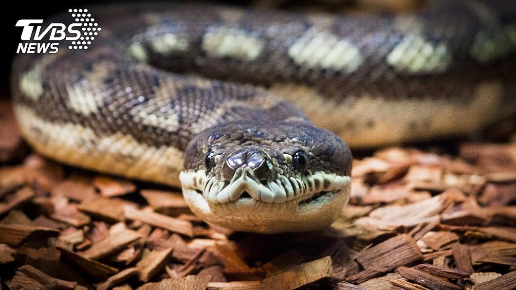 地毯蛇體型巨大又擅於攀爬,不少人打開門被牠嚇壞。(圖/TVBS資料畫面) 慎入!開門突見2公尺肥蟒倒掛 「活吞袋貂」屋主嚇壞
