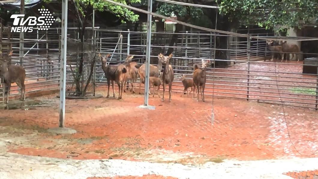 圖/TVBS 疫情一度重挫鹿茸銷售 公鹿每頭補貼400元
