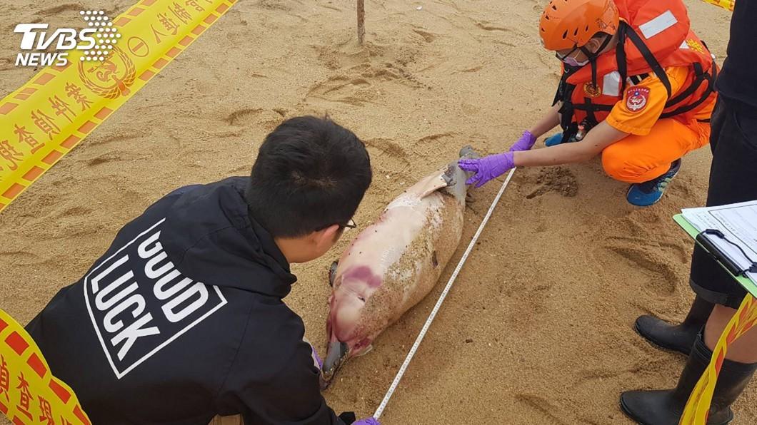 圖/第九岸巡隊提供 保育類中華白海豚陳屍金門岸際 有明顯外傷死因不明