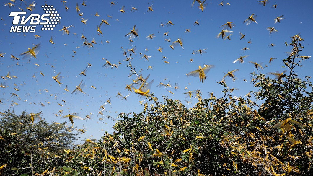 圖/達志影像路透社 印度蝗蟲大軍移動 多省採購抗蝗設施嚴陣以待