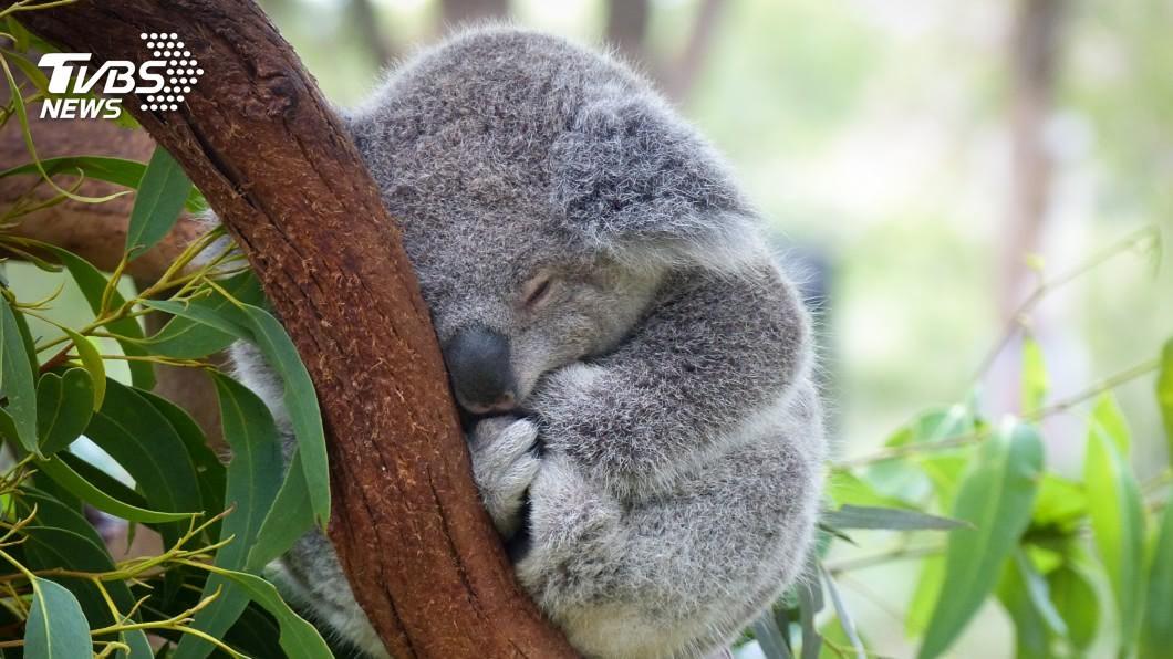 澳新南威爾斯州無尾熊 2050年前恐絕種