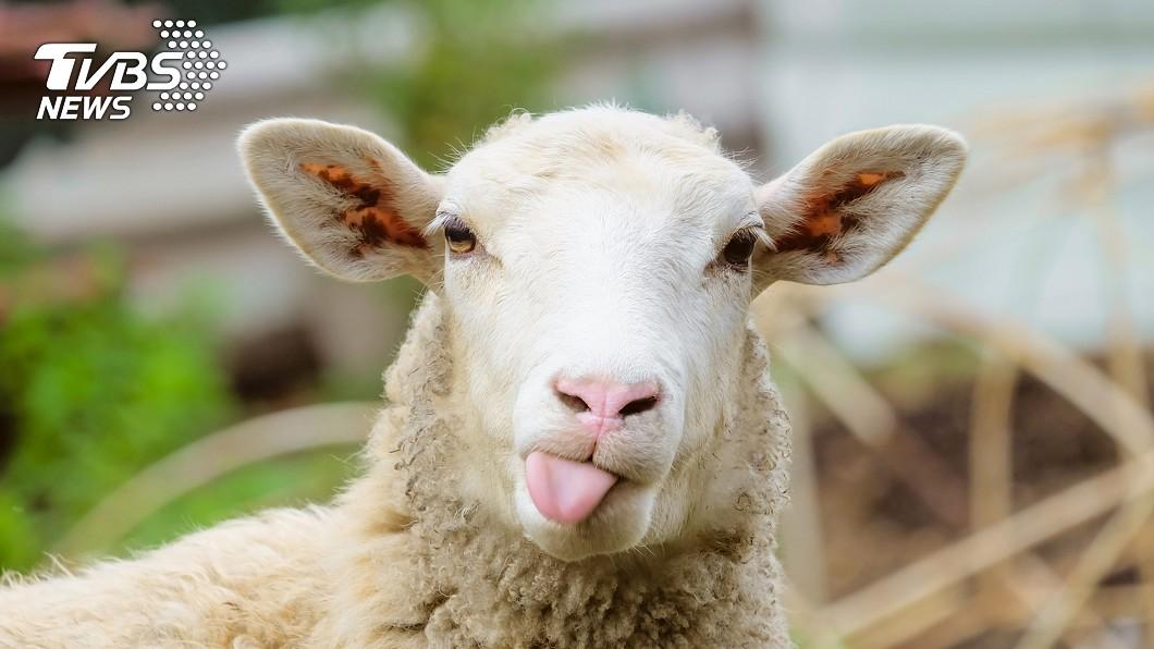 新加坡貿工部長陳振聲接受訪問時,誤稱新加坡沒有綿羊,無法生產棉花。(示意圖/TVBS) 口誤稱「棉花產自綿羊」 新加坡部長自己也笑翻