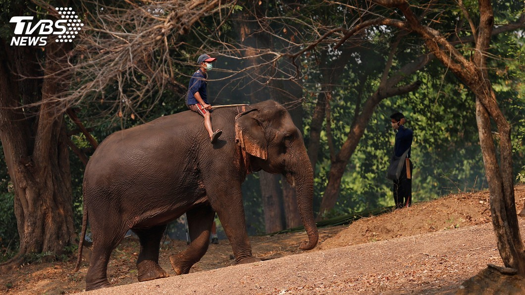 以觀光收入為主的大象園區或是庇護所因缺少遊客,入不敷出。(圖/達志影像路透社) 疫情衝擊泰國觀光 大象庇護所苦撐度難關