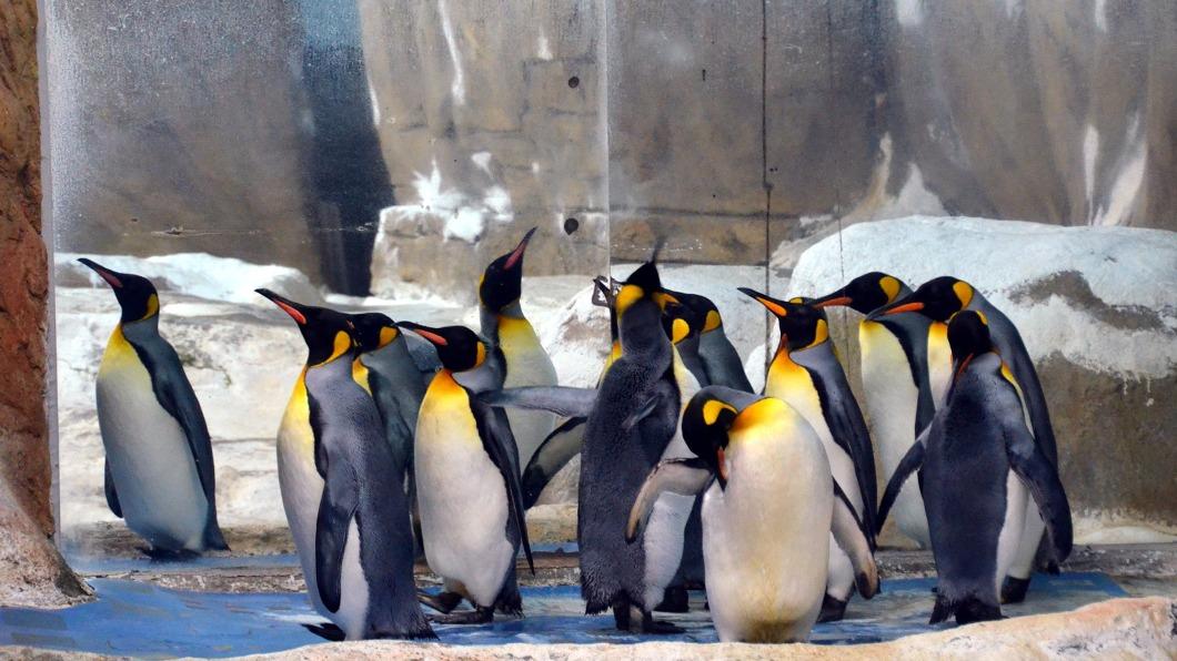 國王企鵝正值換羽期,全數待在隔離舍休息,保育員也藉此分享國王企鵝的日常。(圖/台北市動物園提供) 休園修繕10天 北市動物園分享國王企鵝趣聞