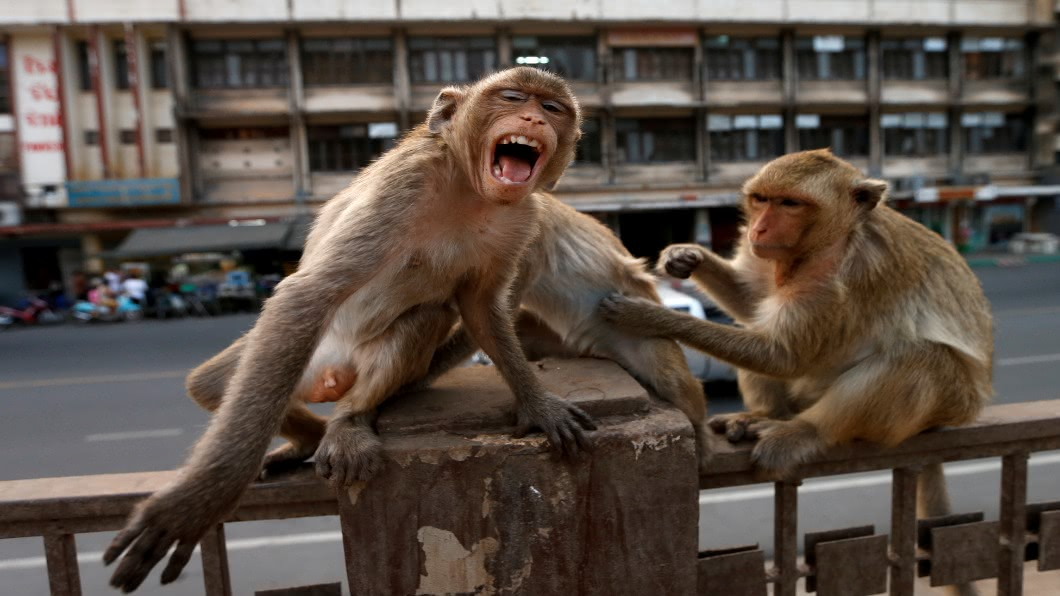 圖/達志影像路透 泰國觀光客消失 猴群無人餵.闖民宅搶食