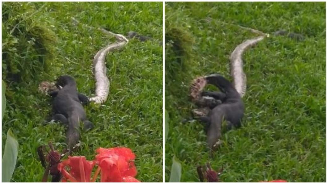 有男子目擊2隻巨蜥正在吞食1隻巨蟒的過程。(圖/翻攝自Nature Society(Singapore)臉書社團) 2巨蜥聯手撕咬2公尺巨蟒屍體 男目睹罕見一幕驚呆