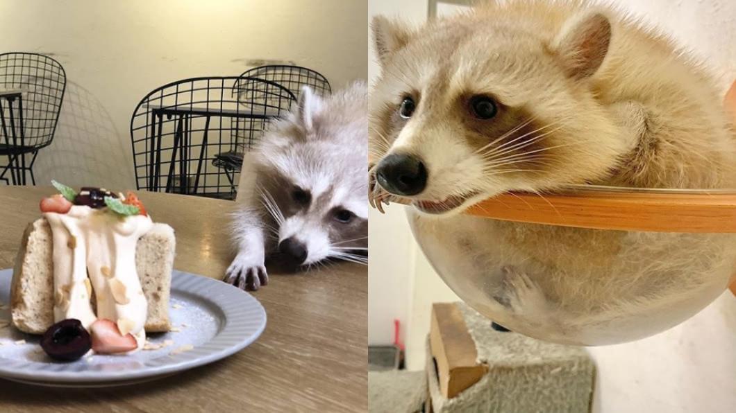 台北市知名咖啡廳被網友爆料虐待動物。(圖/翻攝自Instagram) 遭爆「放狗咬浣熊」!知名咖啡廳4浣熊被扣留