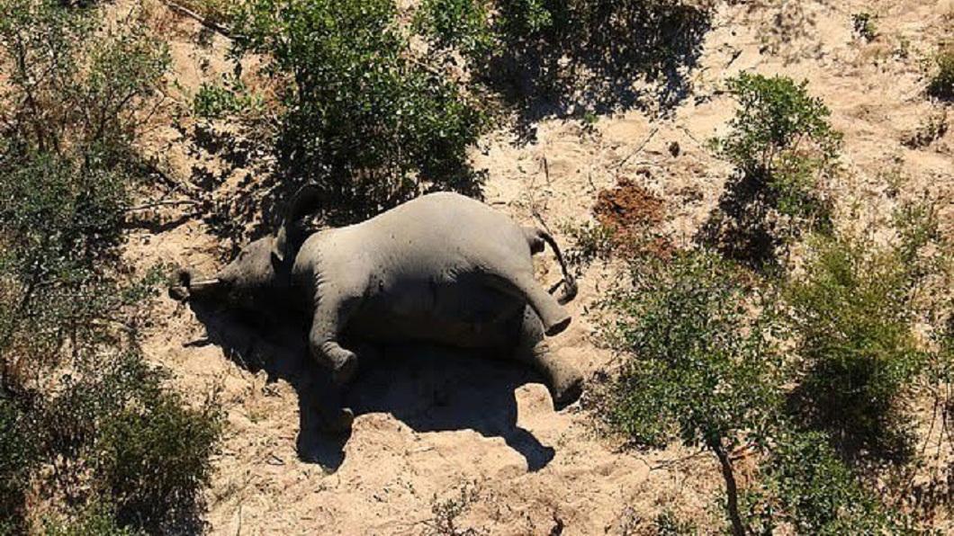 非洲內陸國家波札那近日出現大象集體暴斃的事件。(圖/翻攝自推特) 水坑旁狂踱步繞圈 非洲350頭大象離奇暴斃
