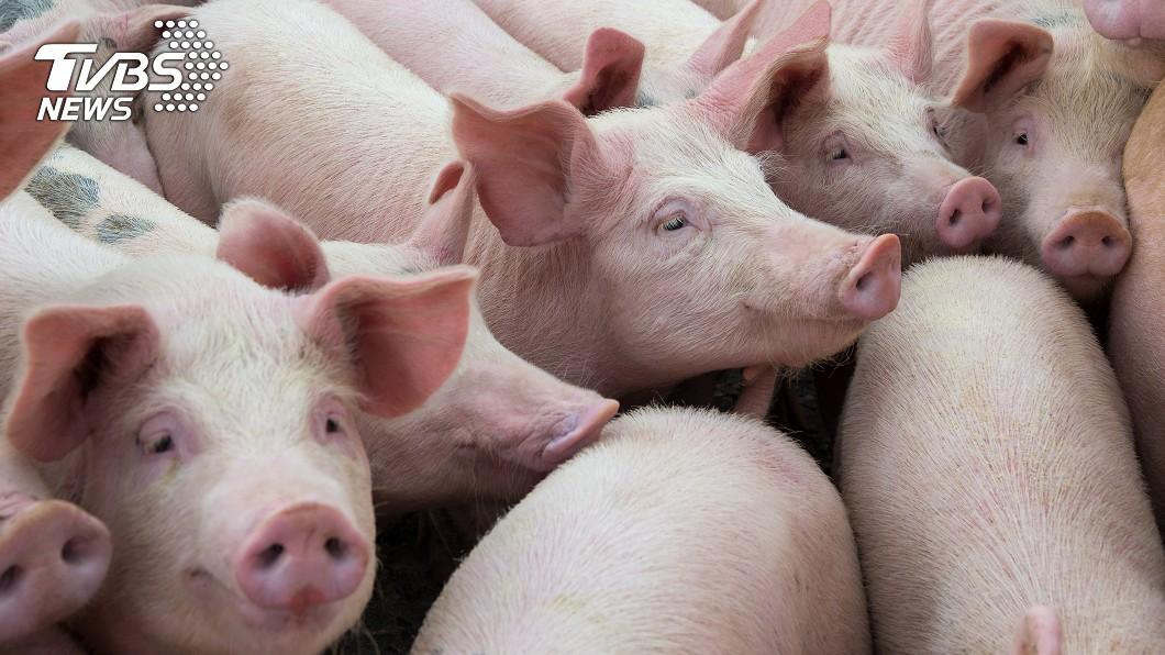 示意圖/TVBS資料照 新型豬流感病毒檢驗出爐 農委會證實:台灣已排除!