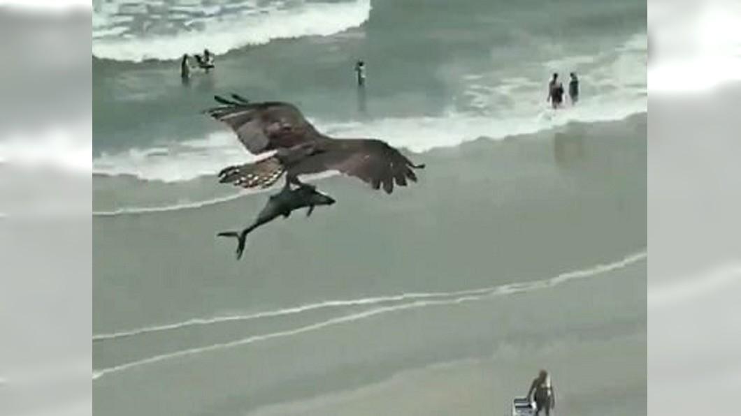 巨鳥獵大魚,準備大快朵頤。(圖/翻攝自推特「Tracking Sharks」) 海灘目睹「恐怖巨鳥」獵物 女遊客嚇壞:是鯊魚嗎