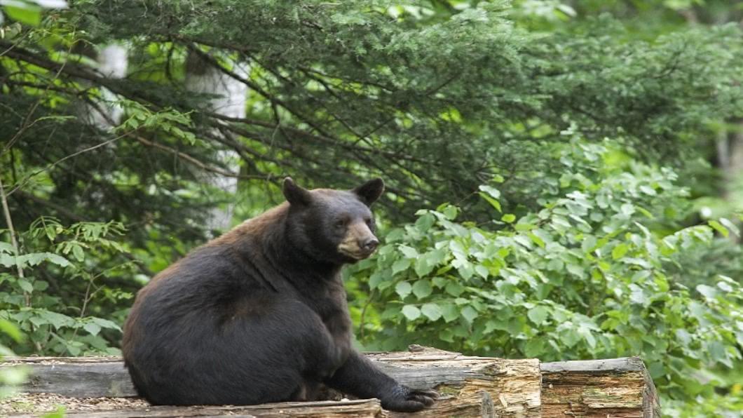 示意圖/達志影像 搶救動物!保育無尾熊.針鼴 救桶罩頭幼熊