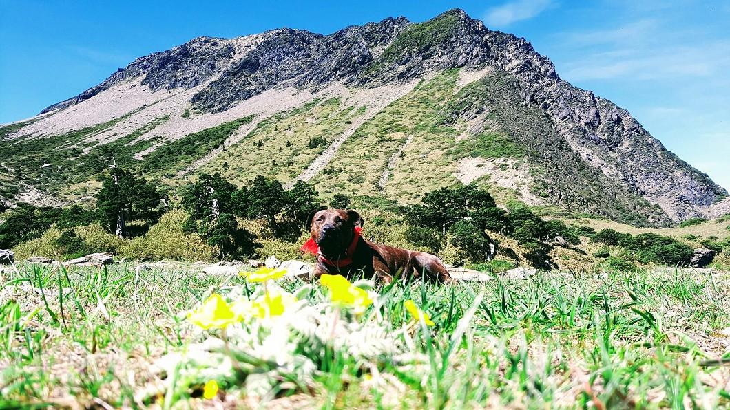 在南湖圈谷流浪5個月的比特犬「小花花」終於順利下山安置。(圖/中央社,民眾提供) 順利下山! 比特犬小花花結束5個月南湖圈谷流浪