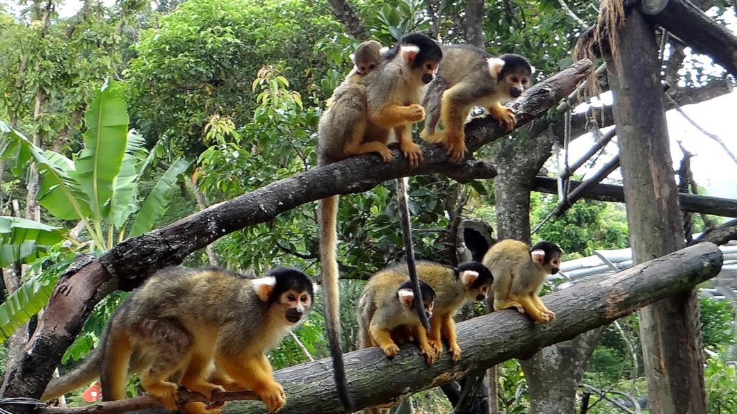 台北市立動物園黑冠松鼠猴產下幼仔。(圖/台北市立動物園提供) 「圓仔妹」出生10天體重倍增 黑冠松鼠猴也添子
