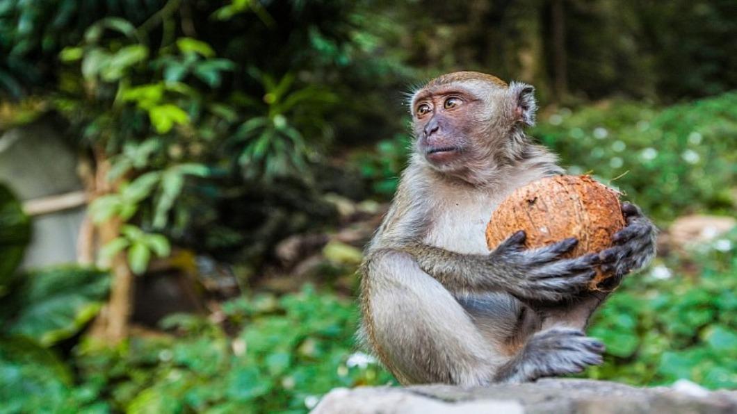 示意圖/達志影像 虐猴採椰子影片風波 泰國政府澄清「絕無此事」