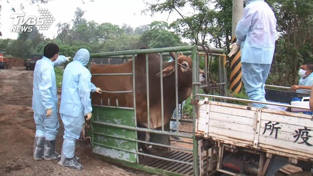 農委會今天公布,包含畜試所1場確診在內,金門牛結節疹疑慮計30場養牛場,已撲殺82頭牛。(圖/TVBS) 防堵金門牛結節疹擴散 已購1萬劑疫苗將施打