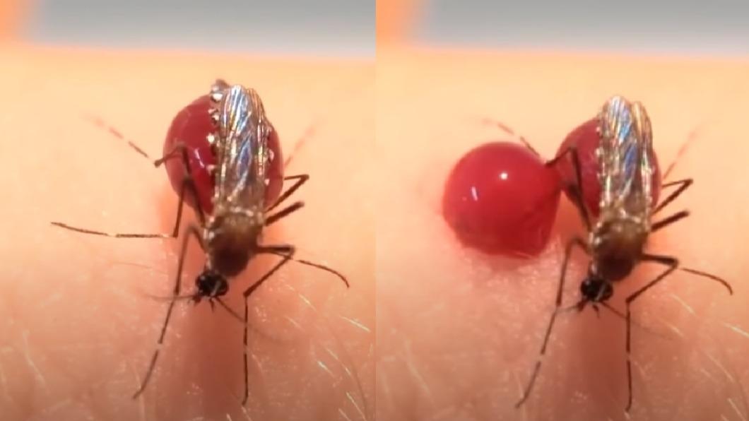 失去受體的蚊子過度吸血導致「腹部爆炸」。(圖/擷取自Youtube) 切除1器官 蚊子竟無感吸血飽到「腹部爆裂」