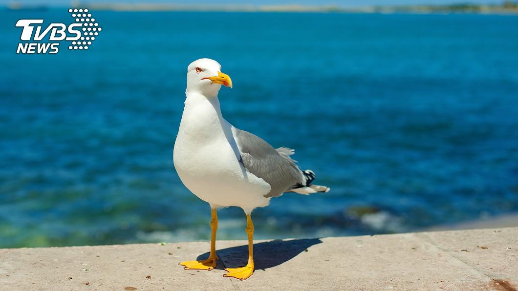 海鷗搶食遭男子咬傷。(示意圖,非當事海鷗/TVBS) 遭海鷗搶食!男子氣炸「大口反咬牠」 下場慘了