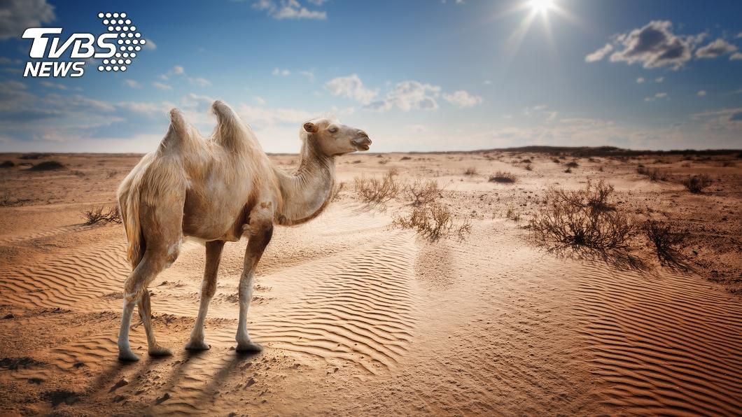 (示意圖/TVBS) 老駱駝被賣後勇走1百公里滿身傷返鄉 主人心疼:不賣了