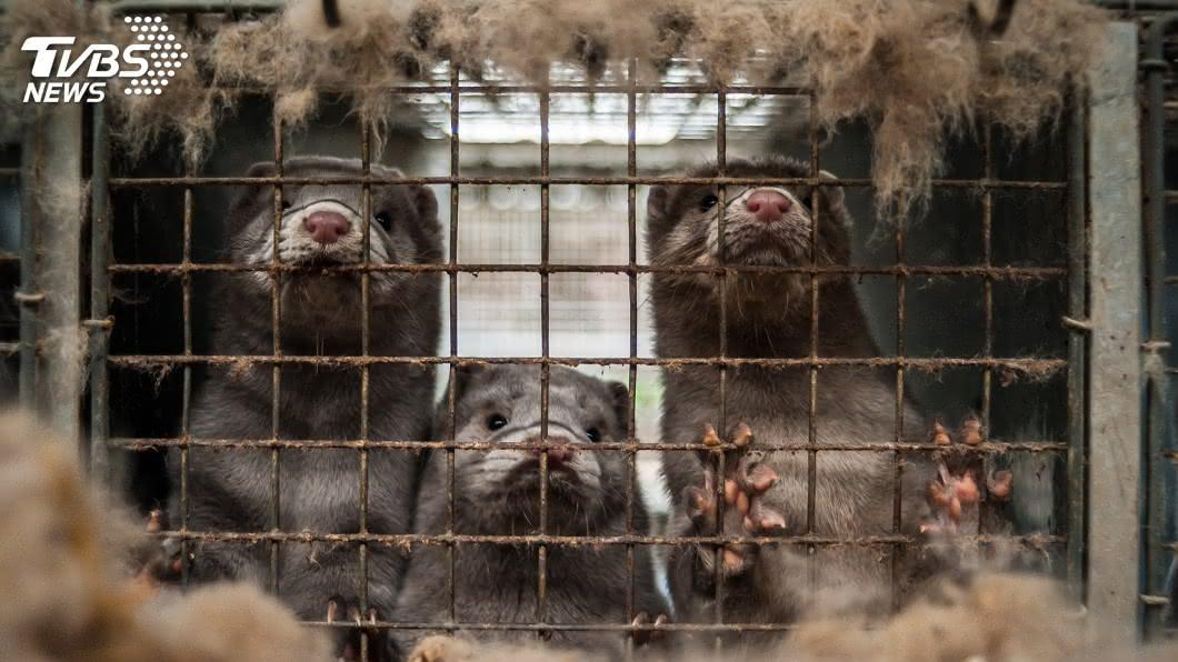 西班牙一座農場內近10萬隻水貂身上帶有冠狀病毒。(示意圖/TVBS) 西班牙農場爆發疫情 近10萬隻水貂將遭撲殺