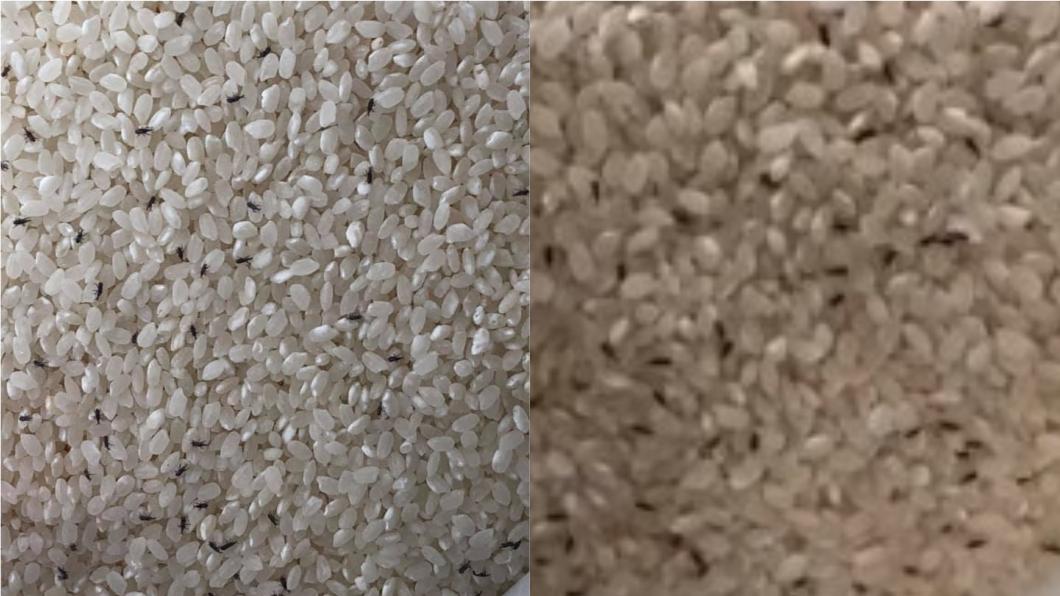 網友從美式賣場買米回來,1個月後驚見長滿蟲。(圖/網友授權提供) 美式賣場買米「爬滿蟲」人妻崩潰 內行教4招根除