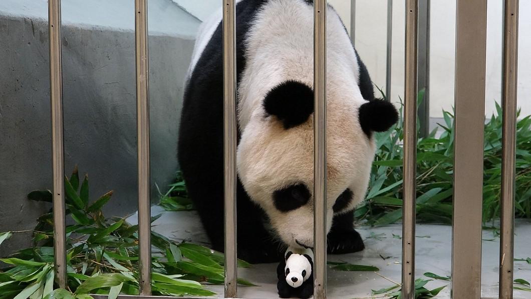 「圓圓」已經認定二寶「仿仔」是牠的寶寶。(圖/台北市立動物園提供) 動物園逼真「仿仔」內藏藍牙喇叭 圓圓溫柔育幼