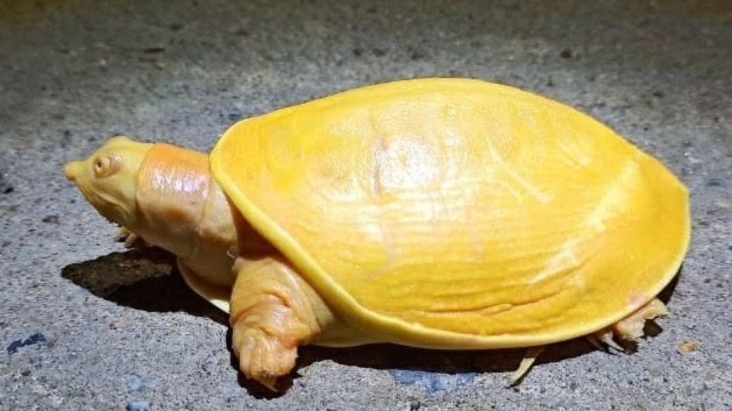 印度一名村民捕獲黃金色鱉,認為有招財含意。(圖/Twitter) 招財神獸現蹤!農民捕獲「黃金鱉」 參拜中獎致富