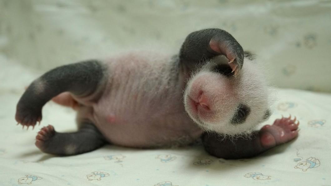 大貓熊寶寶「圓仔妹」。(圖/台北市立動物園提供) 「圓仔妹」重返媽媽懷抱 未來一週是關鍵