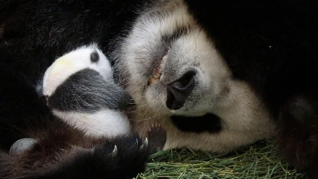 大貓熊寶寶「圓仔妹」回到媽媽「圓圓」懷抱邁入第三天。(圖/台北市立動物園提供) 母愛爆發!圓圓育女手感好 親餵「圓仔妹」母乳