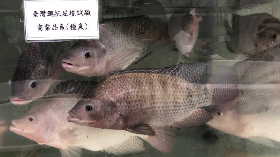 台灣鯛再進化!產學推精準育種平台 可提升3倍產值