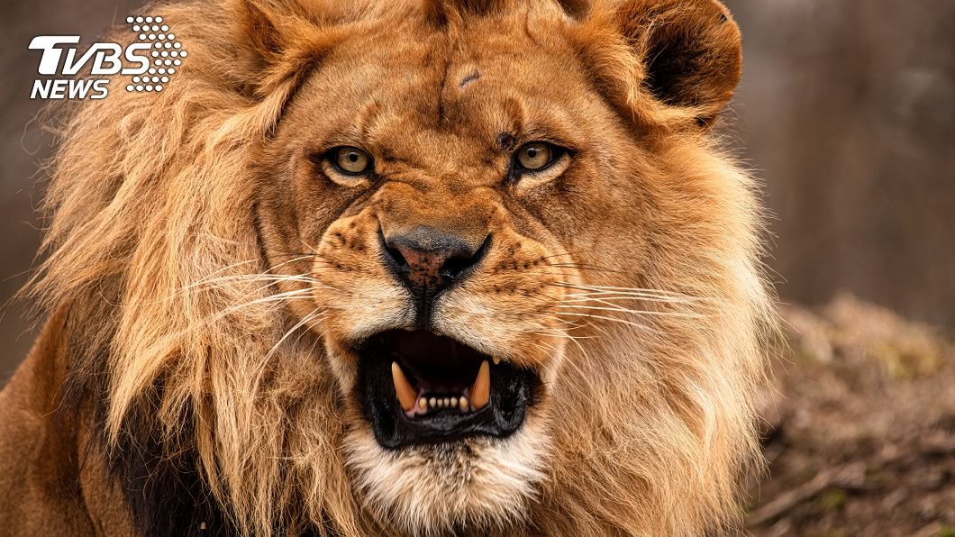 與事件無關。(示意圖/shutterstock達志影像) 開心旅行…醒來驚見獅子在床邊嚇瘋 夫妻下場悽慘
