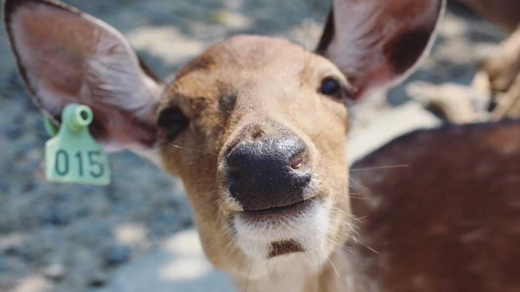 國內有許多親子農場主打「梅花鹿」餵食,吸引許多觀光客體驗。(圖/翻攝自鹿境 Paradise Of Deer) 到小奈良餵食梅花鹿!全台20親子動物農場超萌來襲