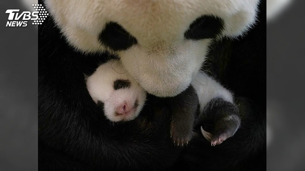 (圖/台北市立動物園提供) 大貓熊圓仔妹體重破2.5公斤 圓圓母愛大爆發