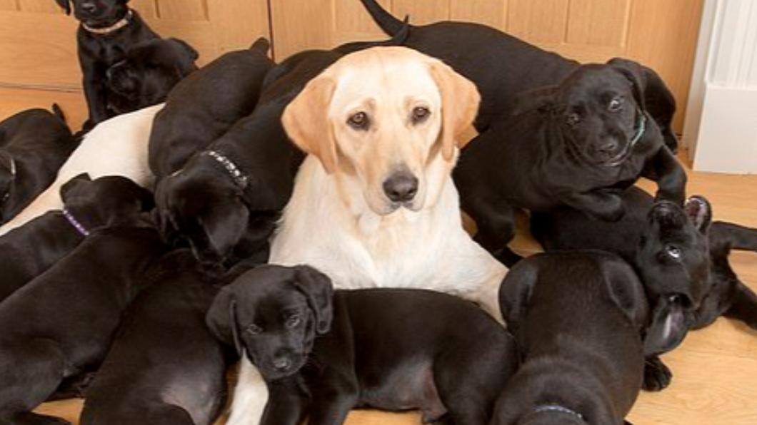 米白色拉不拉多「露西」產下13隻幼犬全是黑色的。(圖/翻攝自《每日郵報》) 爸基因太霸道!白拉拉順產 13幼犬「全是歐告」