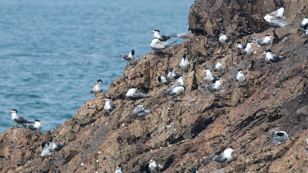 (圖/龍福山莊提供) 今年燕鷗繁殖數減 馬祖盼投入資源保育