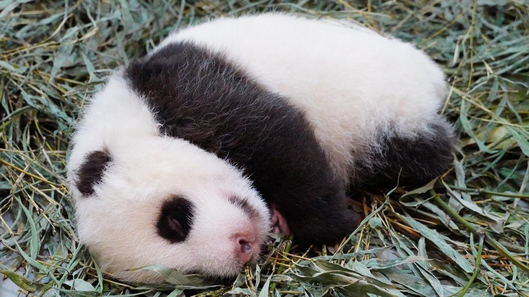 (圖/台北市立動物園提供) 「圓仔妹」頭好壯壯! 媽媽圓圓溫柔幫鋪新床