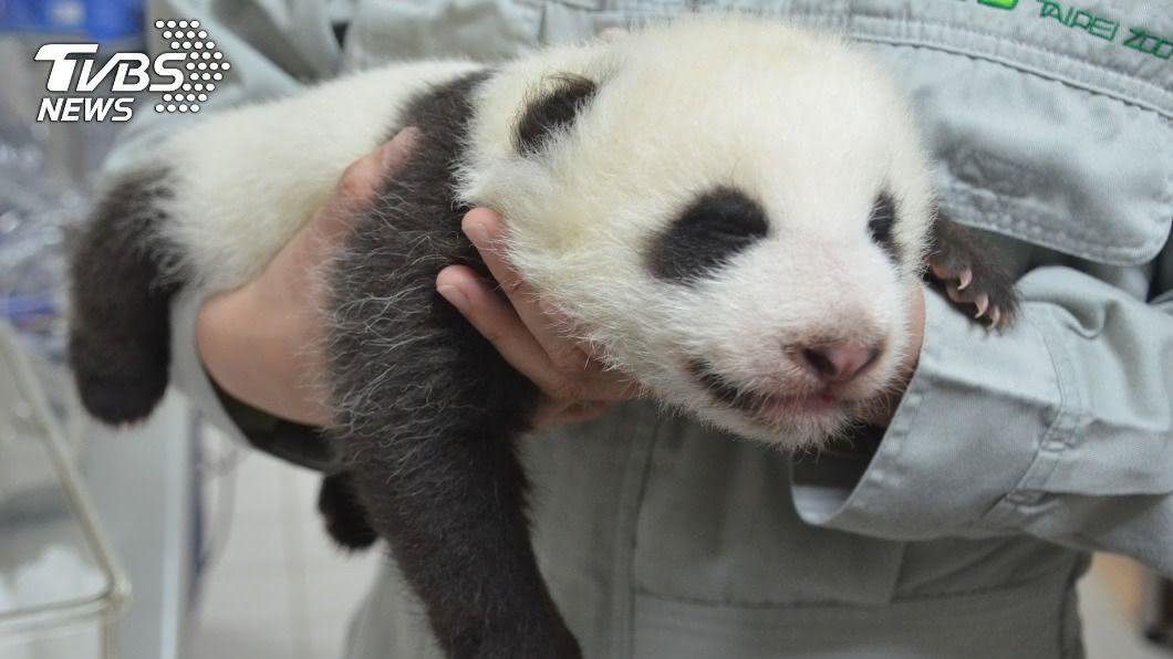 大貓熊寶寶「圓仔妹」。(圖/台北市立動物園提供) 票選開跑!「圓仔妹」最終命名決賽 珍珠、麻糬上榜